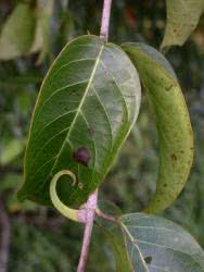 Vilcacora wzmacnia odporność organizmu